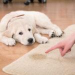 dog wee on carpet